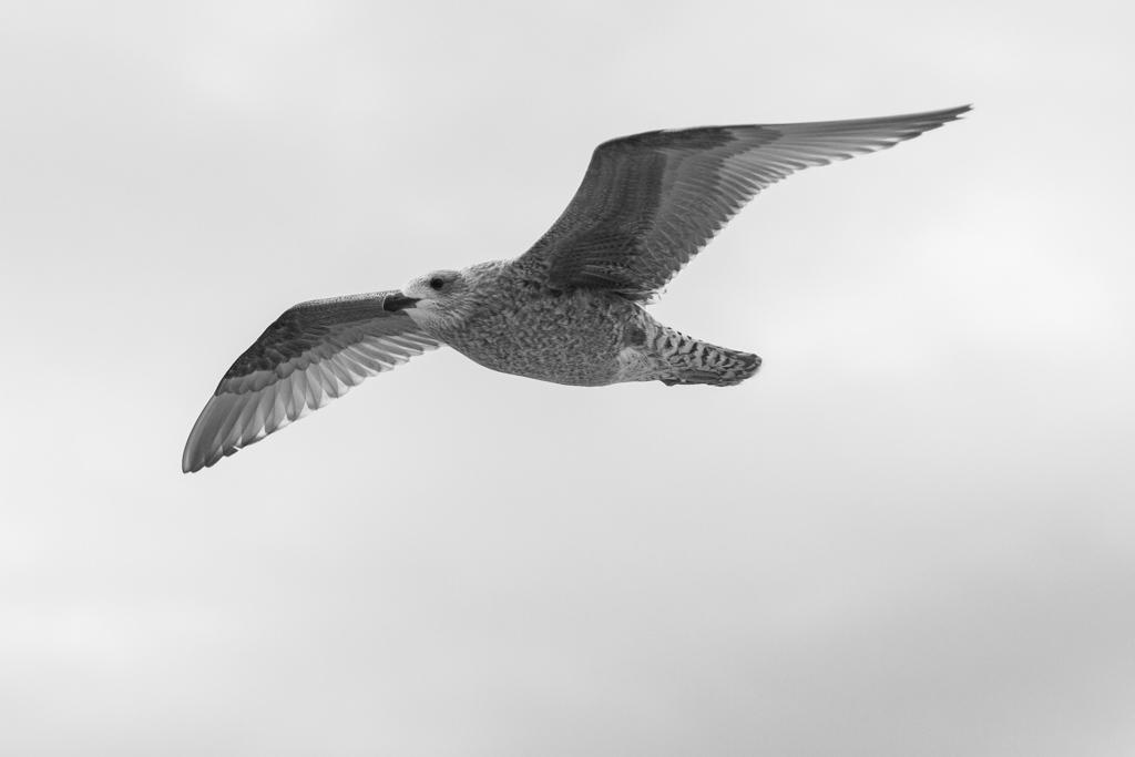 ... seagull II ...